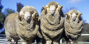 lana de merino ecológicos